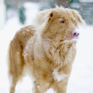 novia scotia retriever