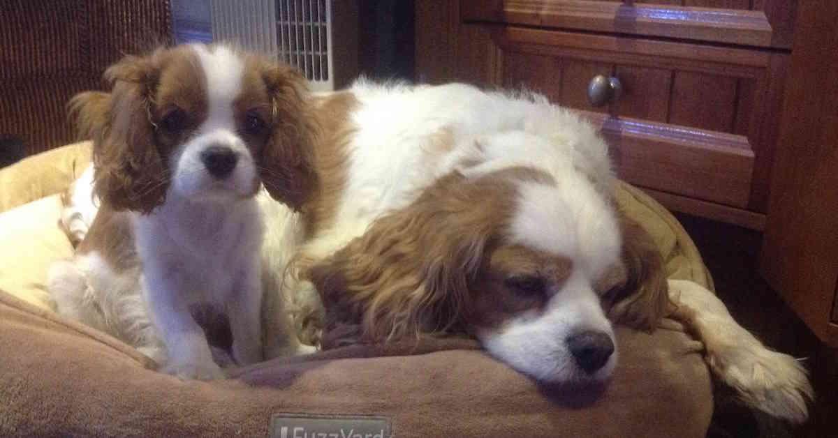 cavalier adult & puppy