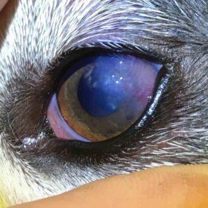 pannus dog eye