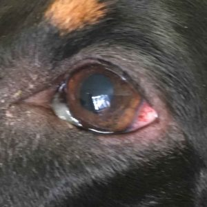 eye infection dog
