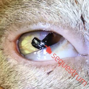 corneal sequestrum cat