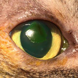 corneal ulcer cat