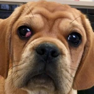cherry eye pugalier