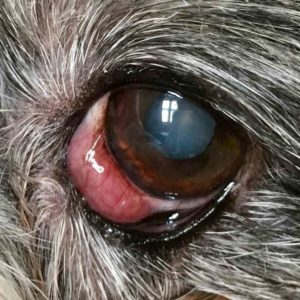 dog eye episcleritis