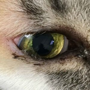 cat entropion eye