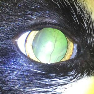 detached retina cat