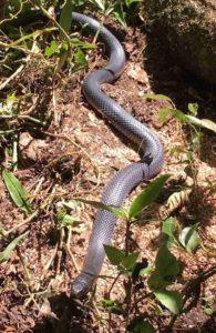 Australian black snake