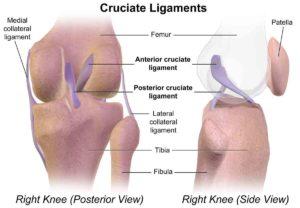cruciate ligament diagram