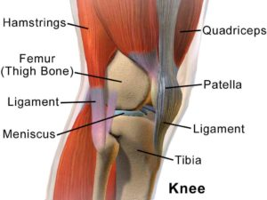 stifle meniscus diagram