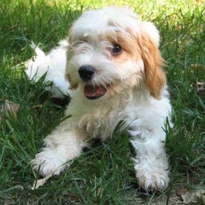cavapoo or cavoodle