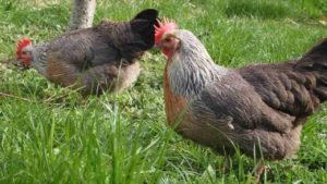 Common Chickens In Adelaide | Heritage Chooks | Walkerville Vet