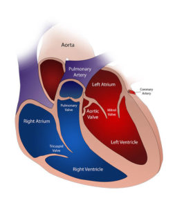 internal heart illustration