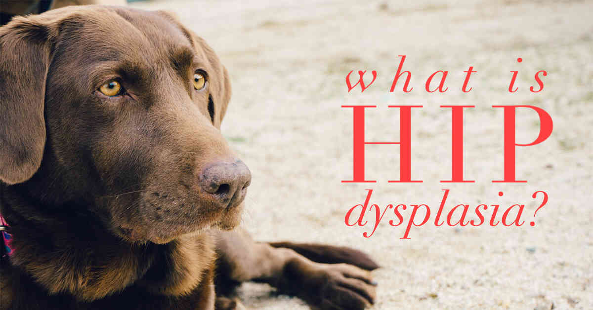 hip dysplasia dog