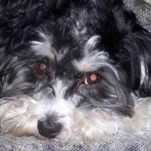 schnauzer poodle cross