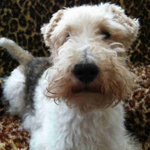 wire haired foxterrier