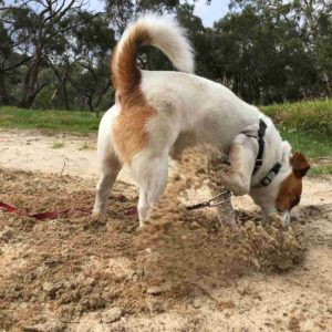 dog at belair golf club