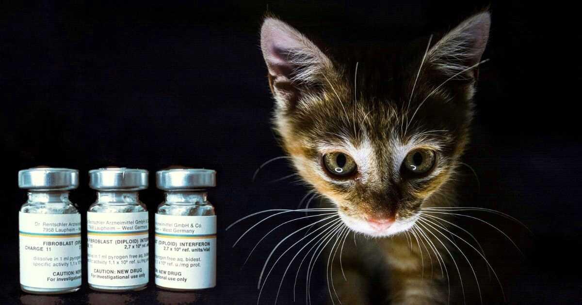 kitten with interferon