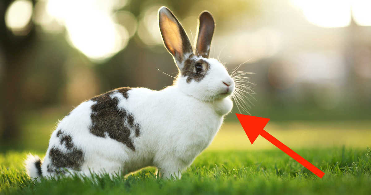 rabbit lump under chin