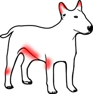 dog sarcoptes appearance