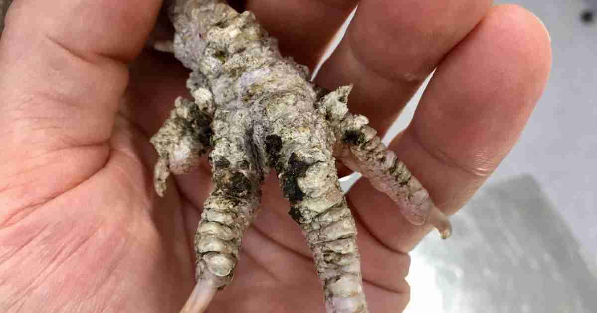 chicken foot mite