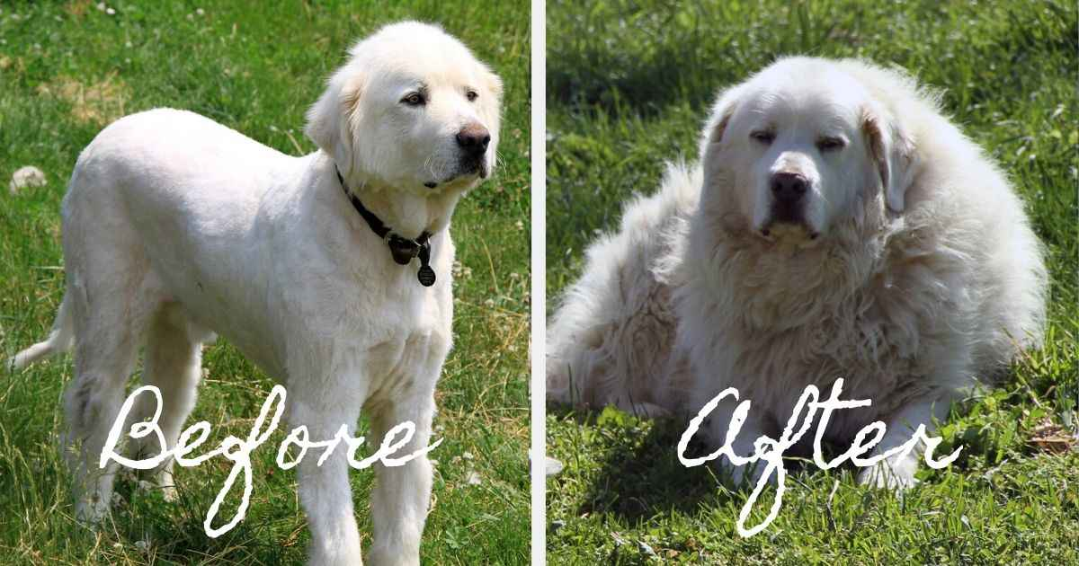 pyrenean dog shave