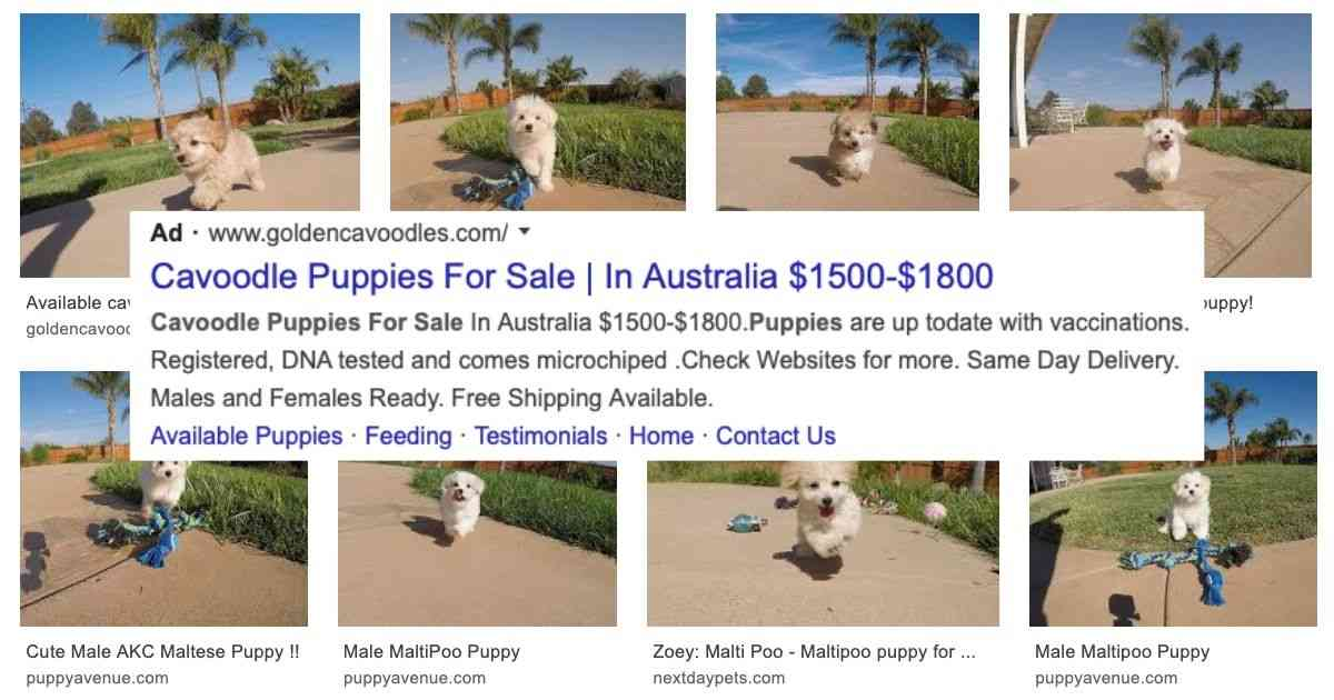 cavoodle puppy sale scam