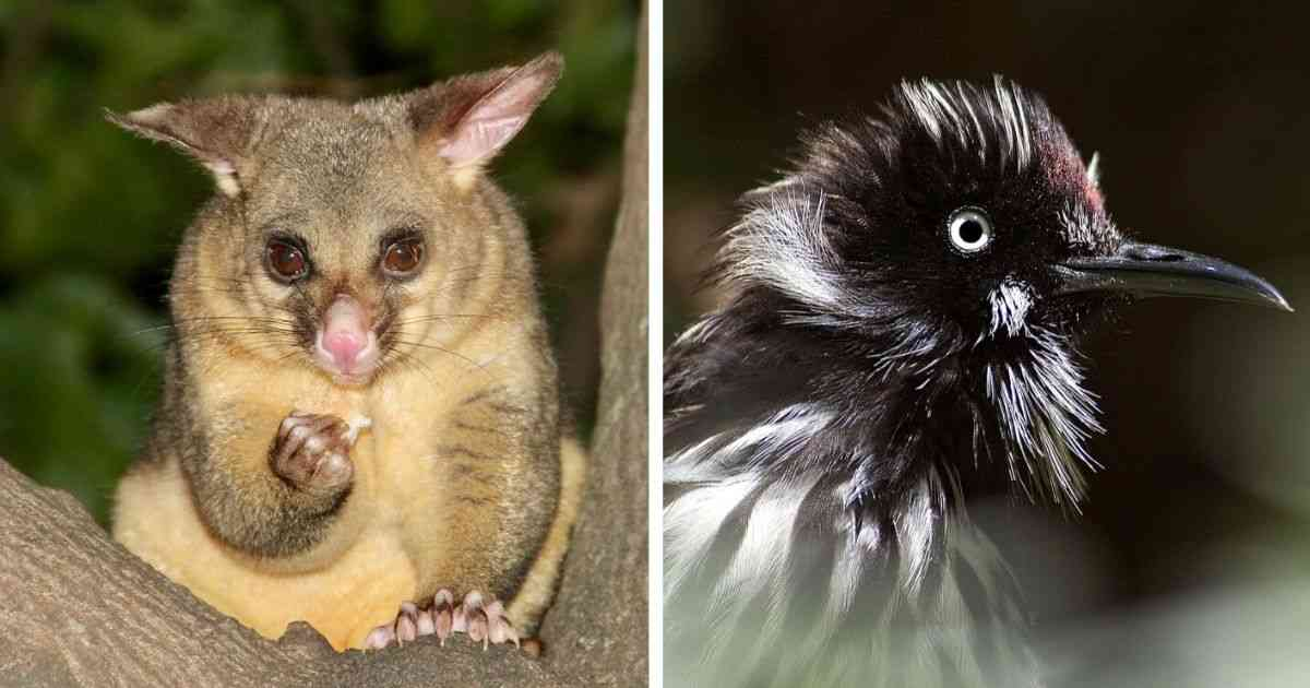 possum and honeyeater