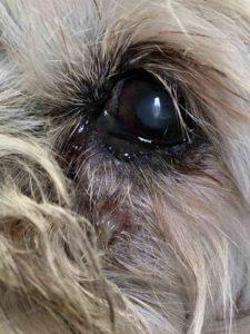 dog face sore