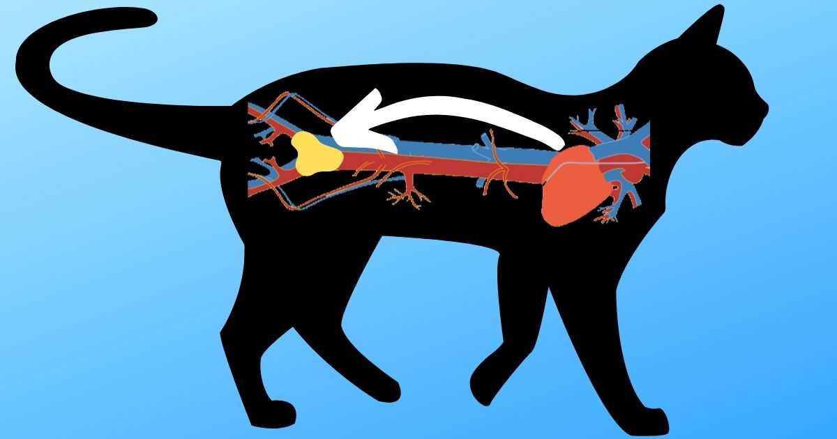 feline arterial thrombus