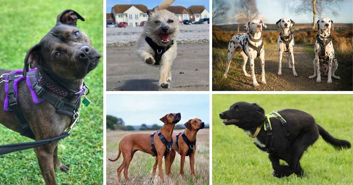 dogs wearing harnesses