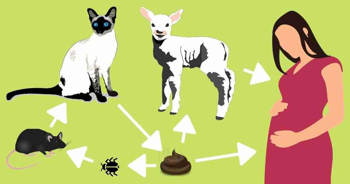 toxoplasma cat lamb human