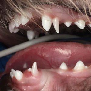 extra teeth dog