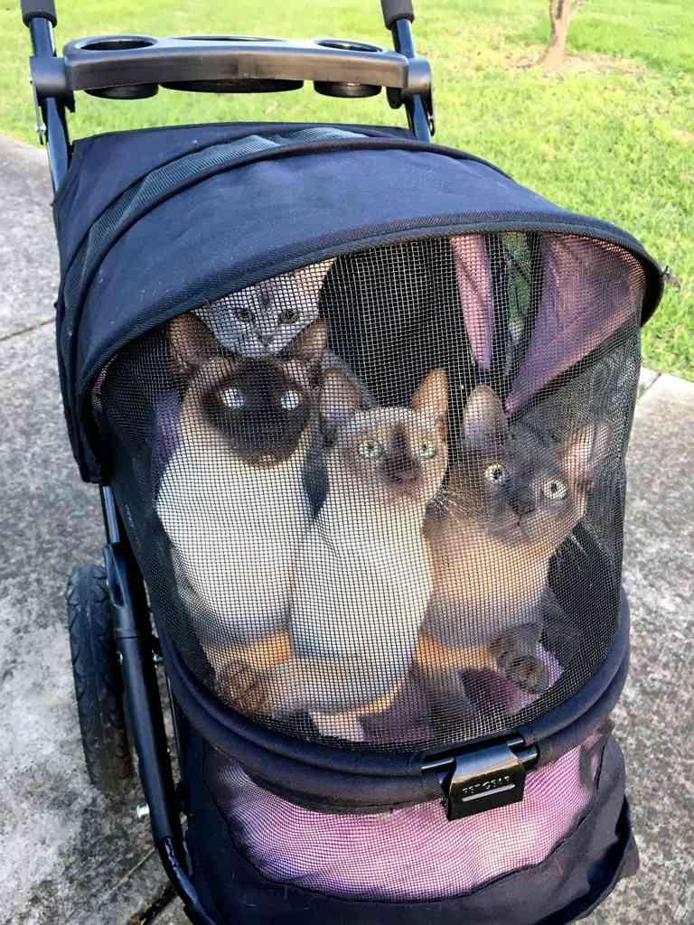 cats walked in pram