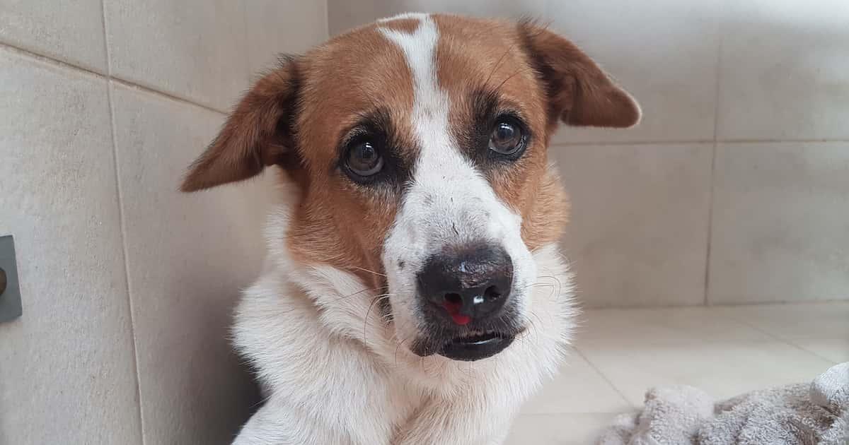 dog blood nose