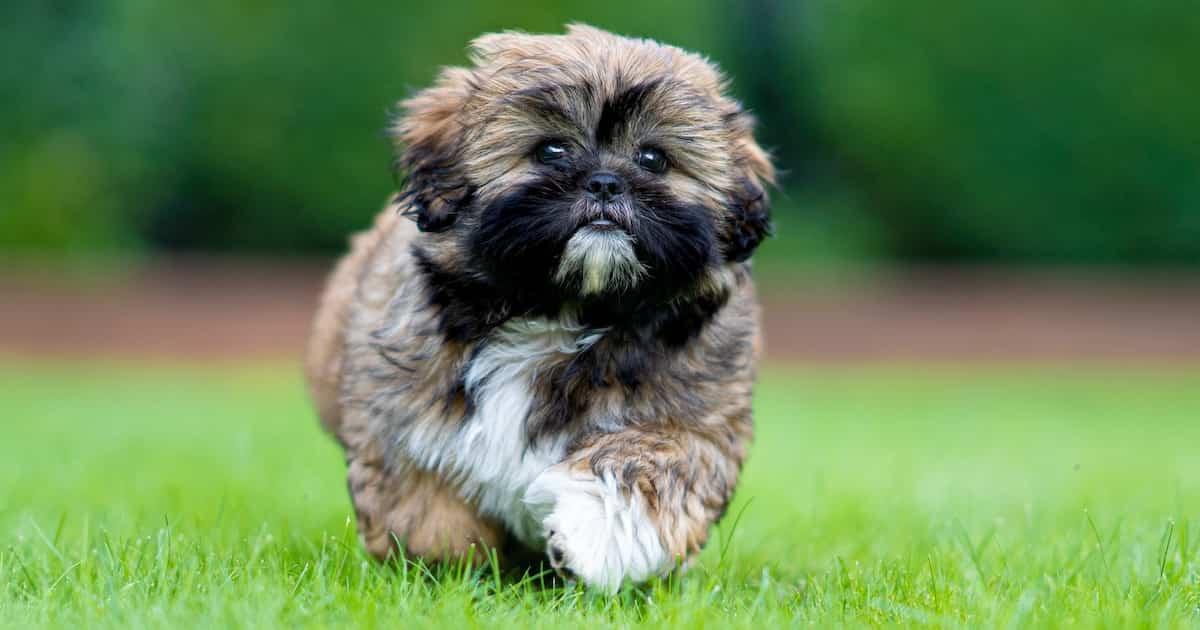 shitzu puppy running