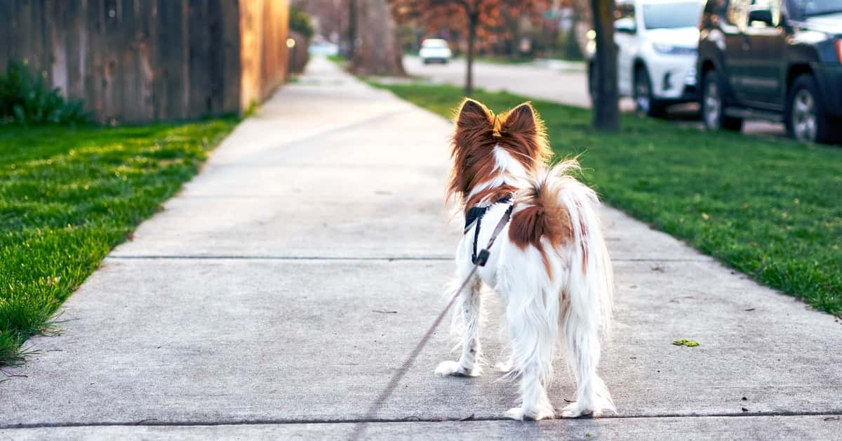 dog on long walk