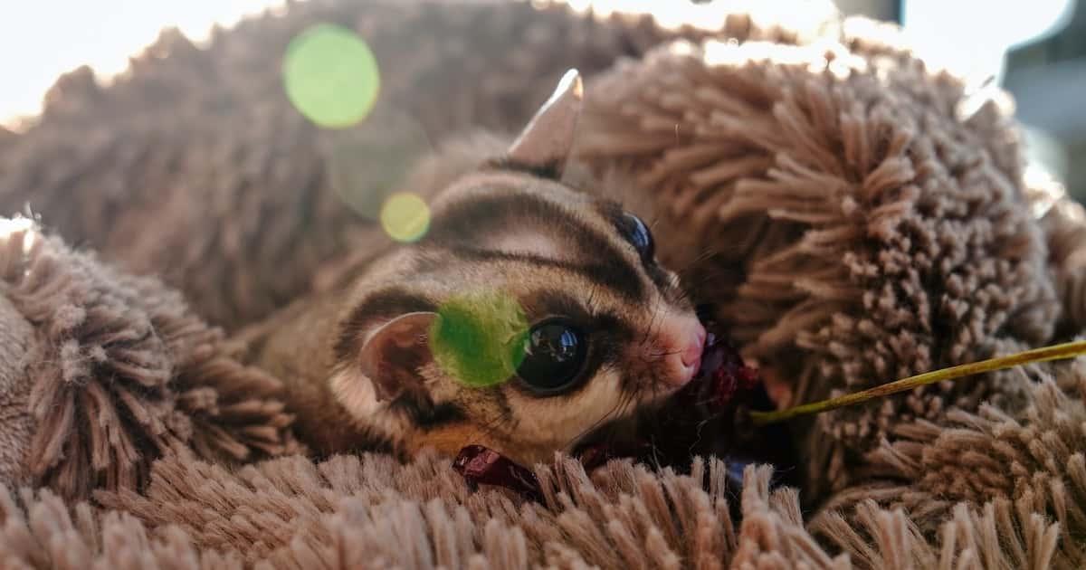 Australian native pet