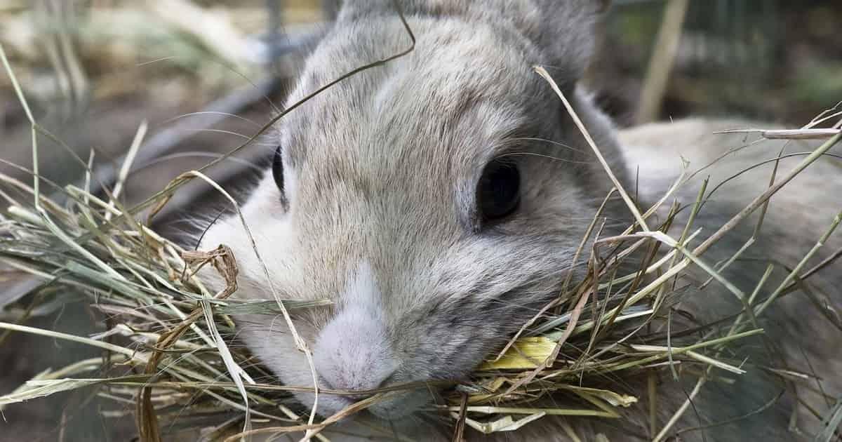 Rabbit hay diet